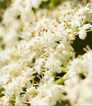 Flor de sauco
